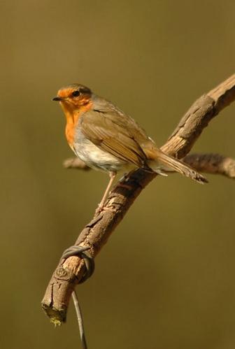 RSPB Robin by Stevie_G