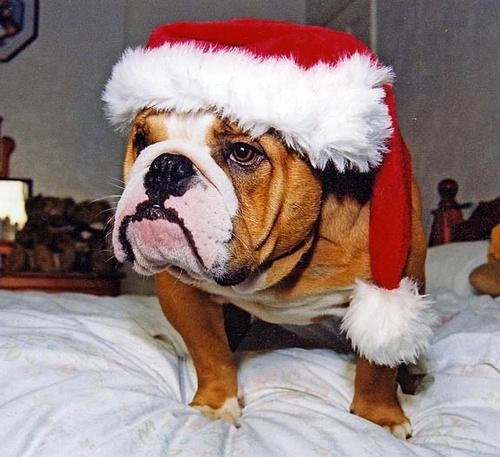 Happy Bulldog Xmas by snapperstan