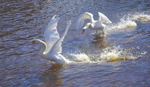 Swans by scotcav