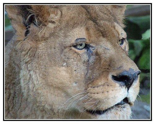 Lion by markt