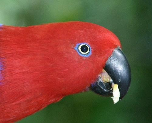 Electus Parrot by minniemanx