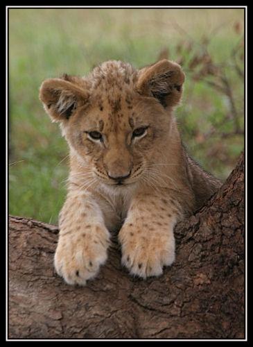 Lion Cub by isotsha