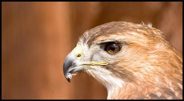 Bird of prey by mttmwilson