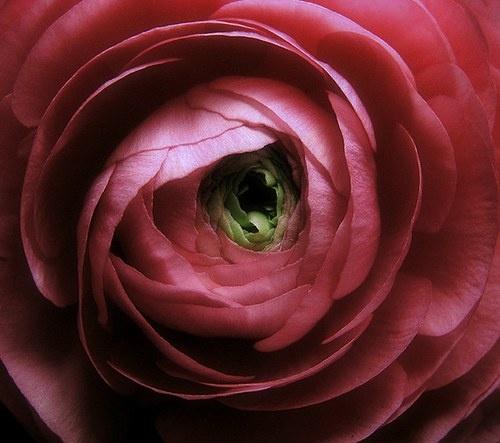 Ranunculus by aglaja