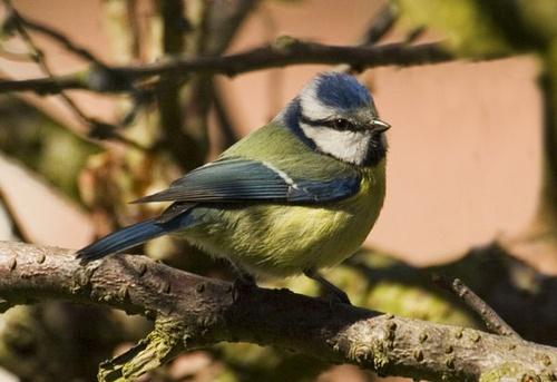 Blue Tit by nil1106