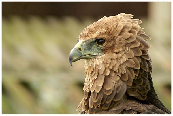 Bird of Prey Portrait 2 by Hoffy