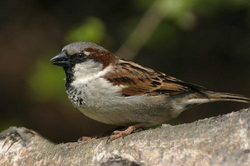 House sparrow by karenpics