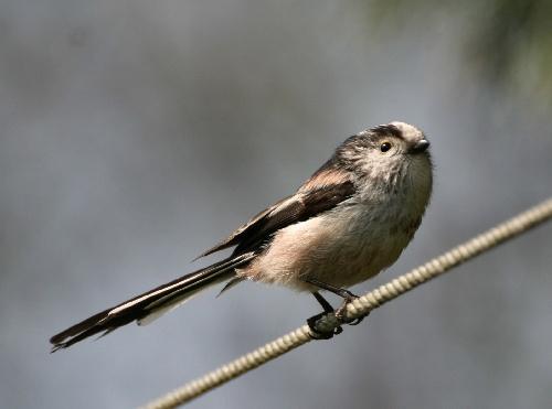 Long-tailed  tit by karenpics