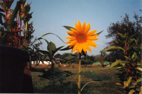 Sunflower by Jordan