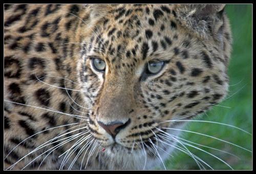 Amur Leopard by Declan