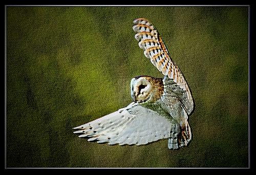 Barn Owl by csurry