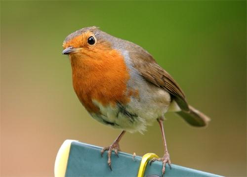 Mr  Robin by sumpo