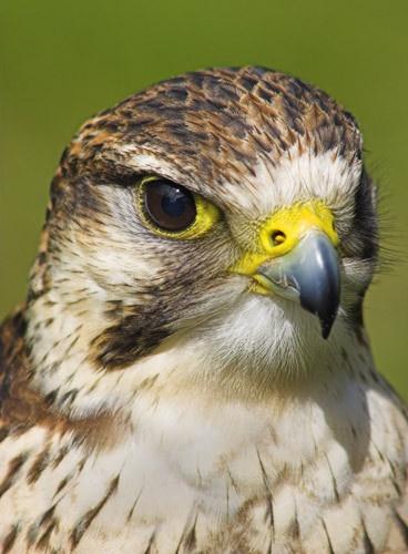 Peregrine Falcon by db