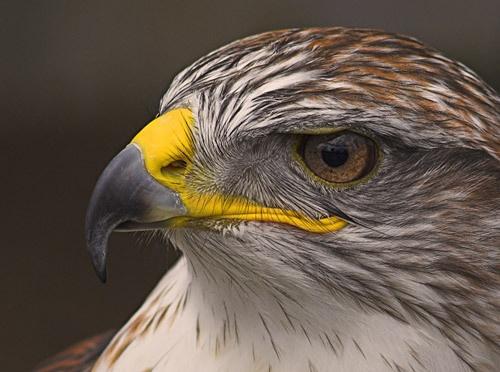 Ferruginous Hawk by db