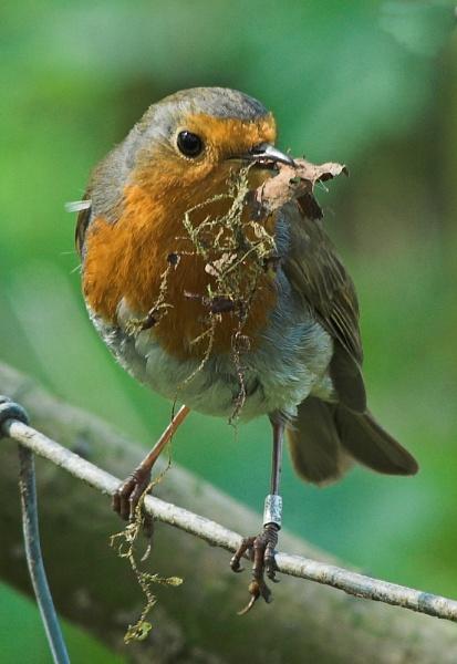 Robin by davefolky