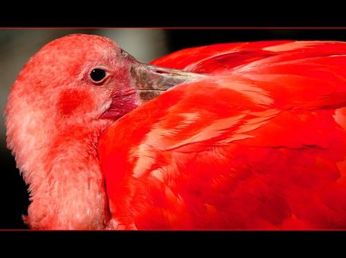 Scarlet Ibis by sferguk