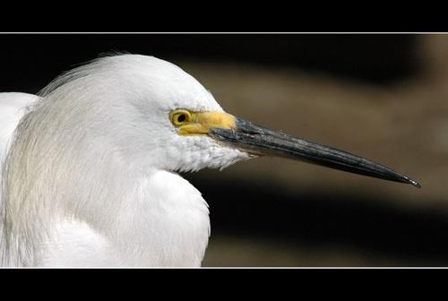 Cattle Egret by sferguk