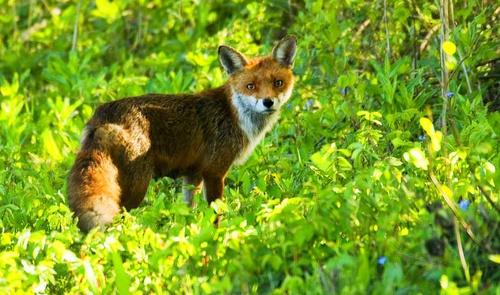 Red Fox (Repost) by nil1106
