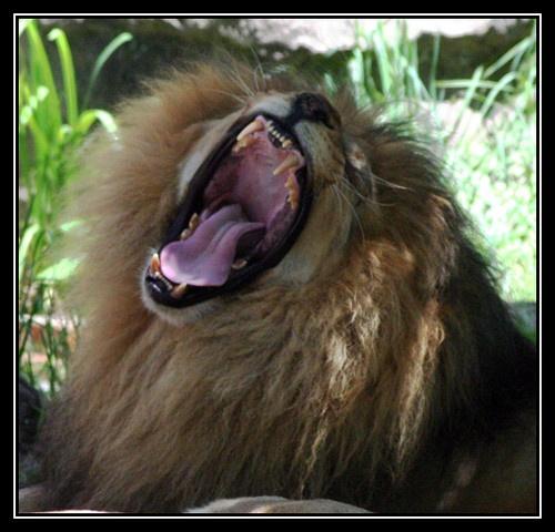 Lion Yawn by liparig