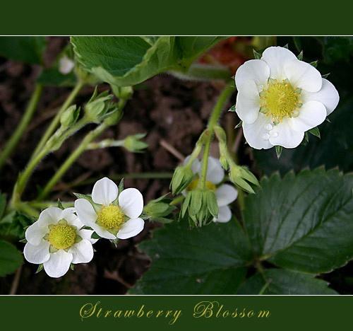 Strawberry Blossom 2 by obz_uk