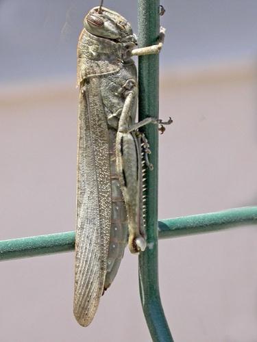 Grasshopper by NorahF