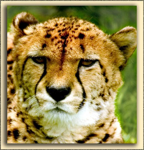 Cheetah 2 by paulcr