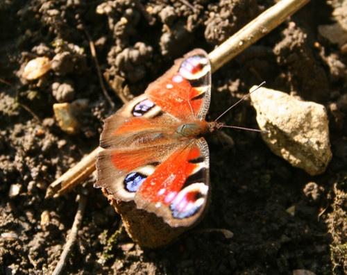 butterfly by Alchenzo