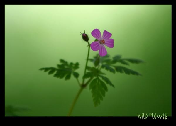 wild flower by scottingham