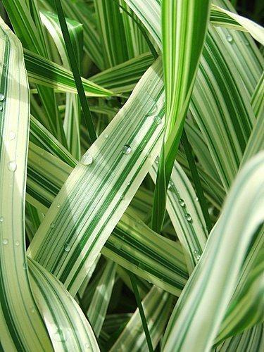 Stripey Grass by drewjr