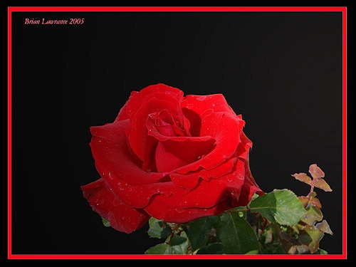 Red Red Rose by Brian_Rodos