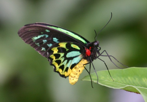 Cairns Birdwing Butterfly by ArthurD