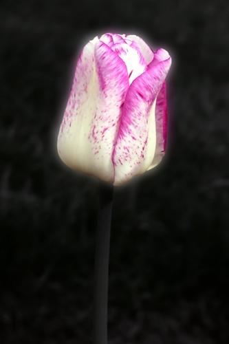 Tulip glow by street3