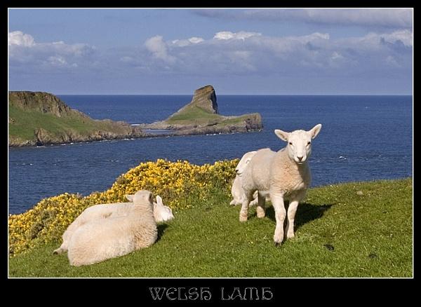Welsh Lamb by AdrianTurner