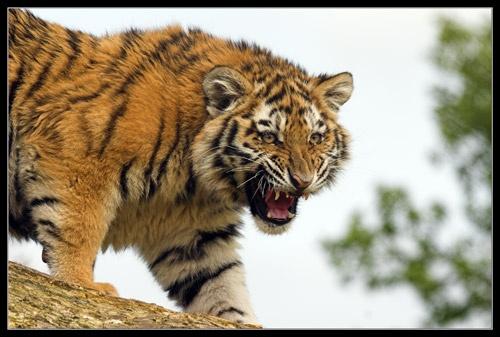 Tiger Cub by Declan
