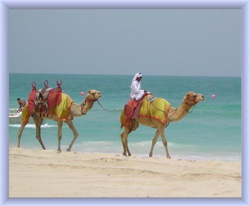 Camels on Dubai Beach by KBan