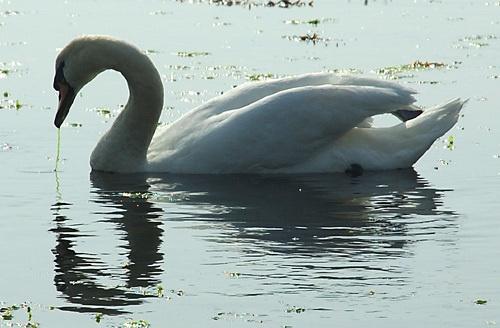 Swan by scotcav