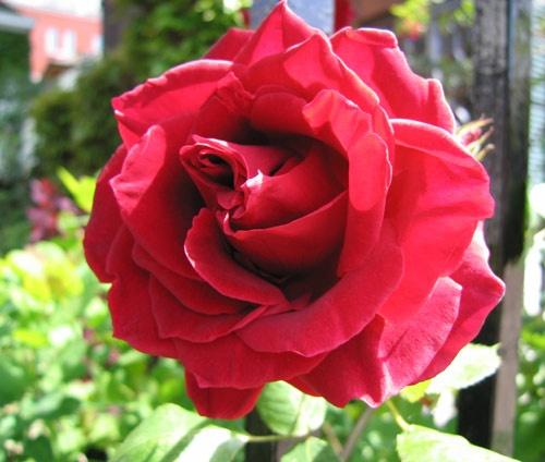 Spring Rose by heromole