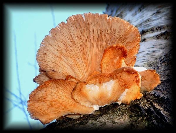 Bracket Fungi by Beardy