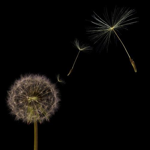 Dandelion seeds by Ewan
