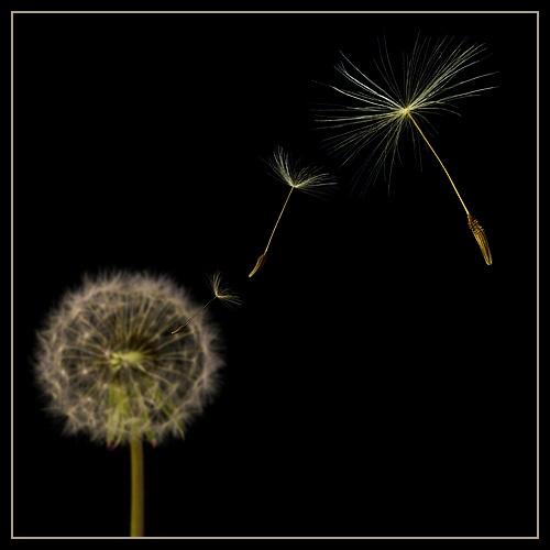 Dandelion seeds 2 by Ewan