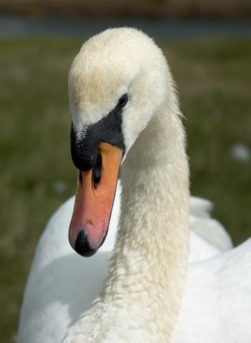 young swan by john ballance