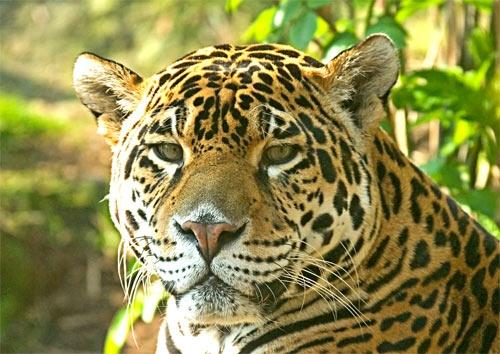 Jaguar by da_nige