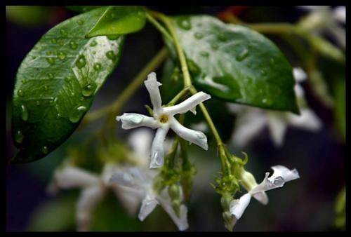 Tear Drop Flower by fez