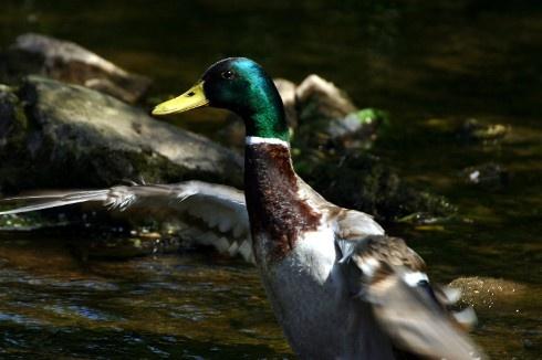 Duck in a flap by Baz Hilder