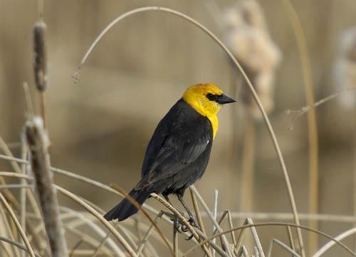 Yellow Headed Blackbird by Danno