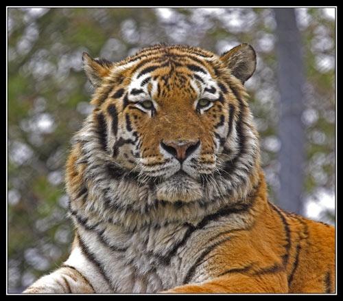 Panthera tigris altaica by Declan