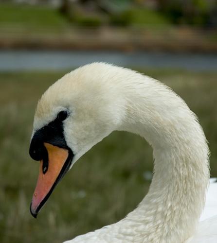 Swan Side On by john ballance