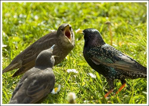 Feeding time (Starlings) by mttmwilson
