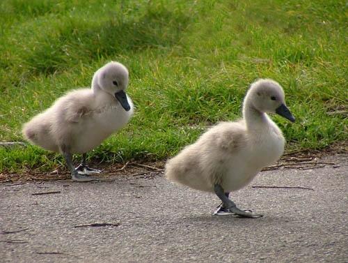 ugly ducks by petegaylard