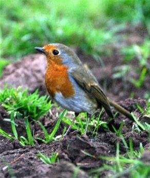 Robin by Baz Hilder